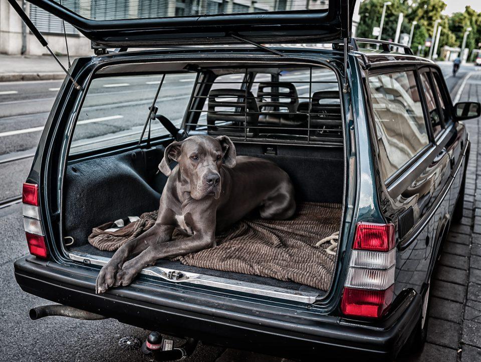 Deutsche Dogge Django (3)